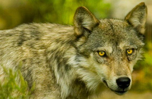 Wolf Centre – Summer