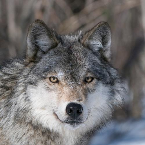 Haliburton Forest Book Wolf Centre