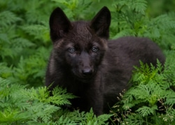 Black wolf pup small