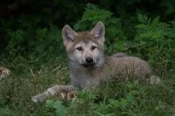 Brown wolf pup-sm
