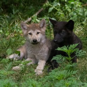 2016 Wolf Pup Naming Contest