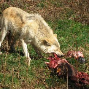 Feeding Fang