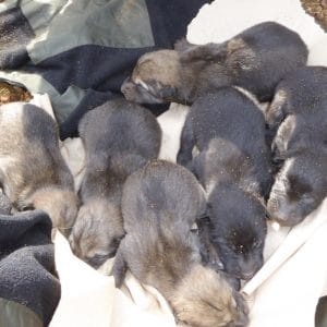 A new generation of Wolf Pups at the Haliburton Forest Wolf Centre