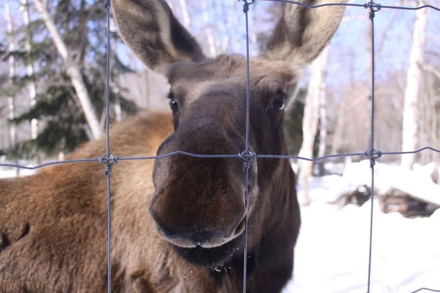 Hershe – Haliburton Forest's resident moose is developing well!