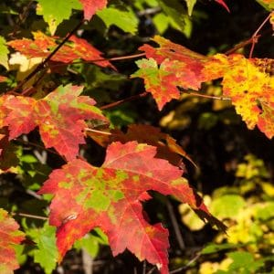 Male and Female Maple Trees, Really?
