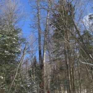 Ontario's Tallest White Pine