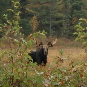 It is rutting season at Haliburton Forest …