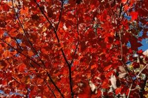 Bright red maple