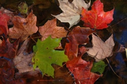 Fall leaves with water drops