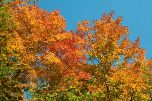 fall coloured maples