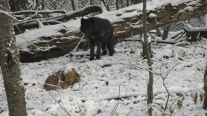 Black wolf pup onyx