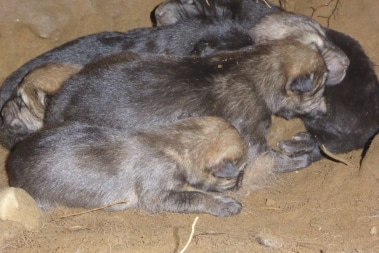 Close up pups in den