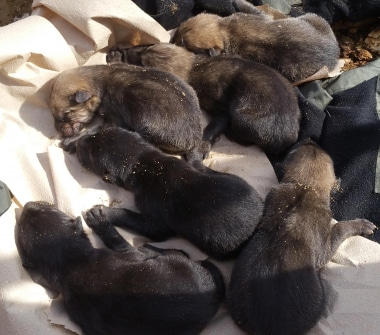 Pile of wolf pups