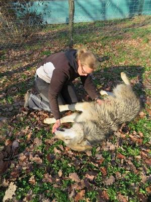 Wolf on the ground