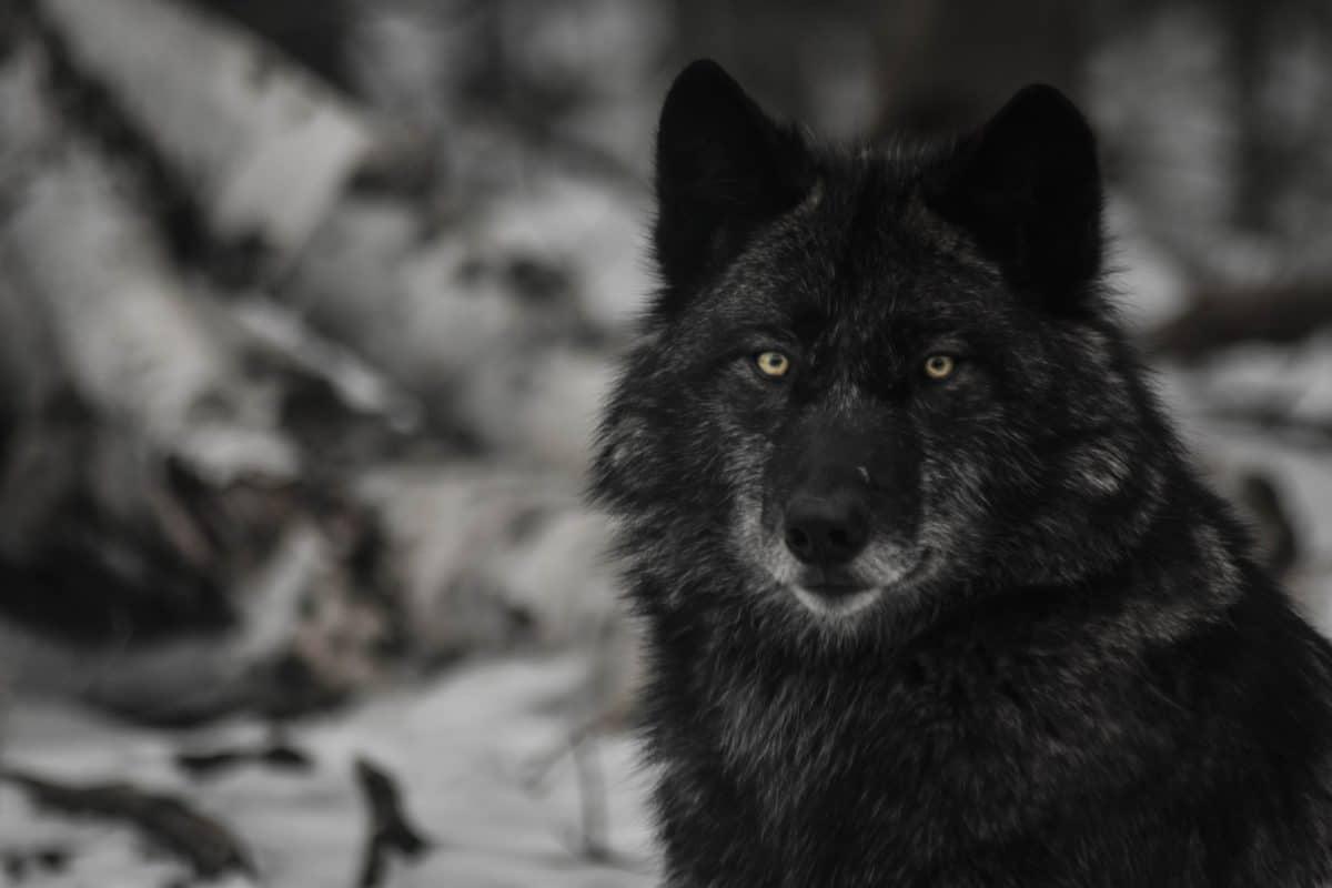 HalForest Wolf Centre Photo Credit Rhys Langdon (1)