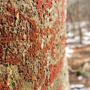 Beech Bark Disease: Beautiful But Deadly